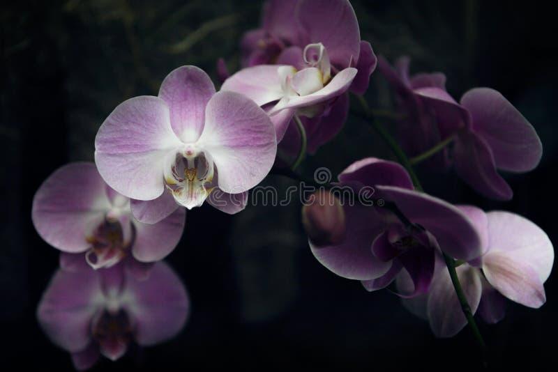 Ρόδινη και πορφυρή βαριά άνθηση κλάδων ορχιδεών με το μεγάλο λουλούδι στοκ φωτογραφίες με δικαίωμα ελεύθερης χρήσης