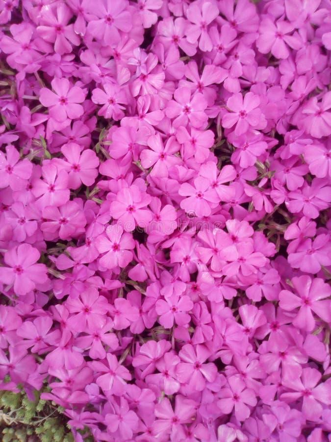 ρόδινη κινηματογράφηση σε πρώτο πλάνο Phlox στενό λευκό τουλιπών κόκκινων ανοίξεων κήπων λουλουδιών κερασιών επάνω στοκ φωτογραφίες
