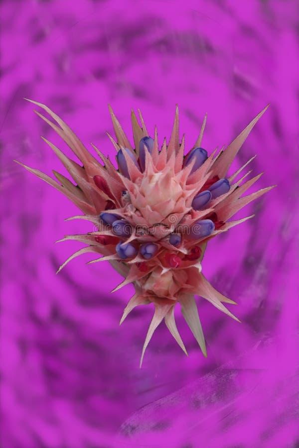 Ρόδινη κυκλική σύνθεση χρώματος στο υπόβαθρο με τα περιστασιακά διαφανή φύλλα ενός bromeliad στοκ φωτογραφία