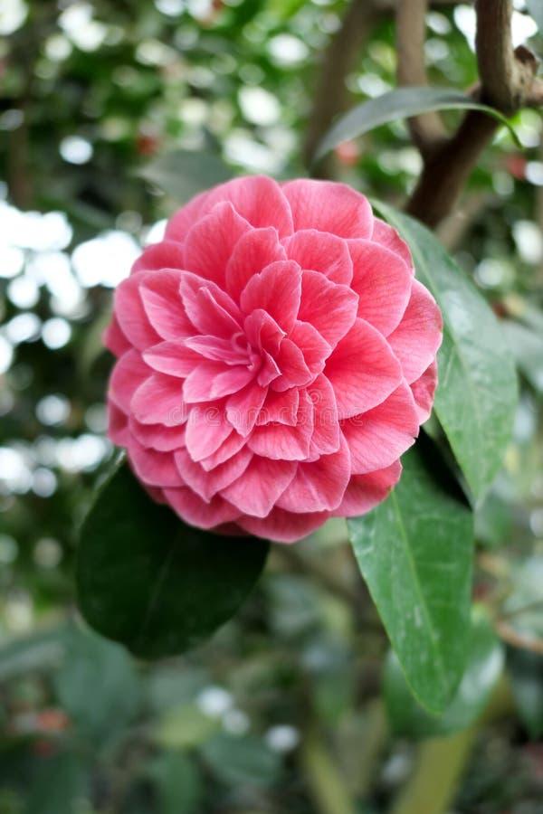 Ρόδινη κόκκινη καμέλια flowerheads του θάμνου στο άνθος στοκ εικόνες