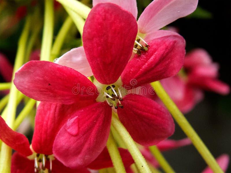 Ρόδινη μακροεντολή λουλουδιών των εγκαταστάσεων αναρριχητικών φυτών του Ρανγκούν στοκ φωτογραφία