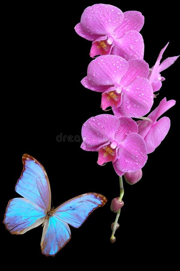 Ρόδινη ορχιδέα και μπλε πεταλούδα στοκ εικόνα με δικαίωμα ελεύθερης χρήσης