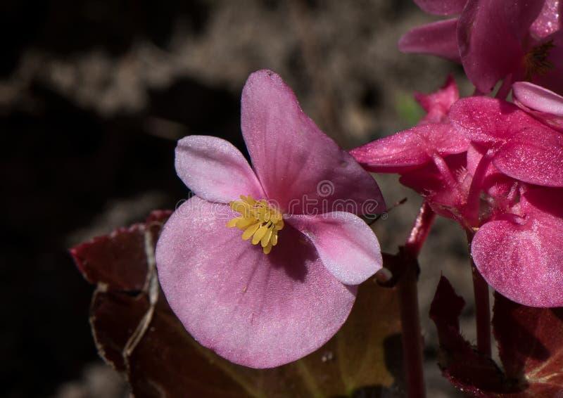 Ρόδινη ορχιδέα Phaleonopsis στοκ φωτογραφία