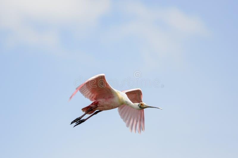 Ρόδινη πλαταλέα wingbeat στοκ φωτογραφίες