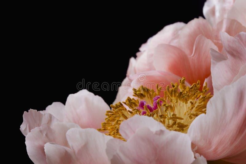 Ρόδινη peony ανθοδέσμη λουλουδιών που απομονώνεται σε ένα μαύρο υπόβαθρο στοκ φωτογραφίες με δικαίωμα ελεύθερης χρήσης