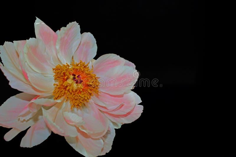 Ρόδινη peony κινηματογράφηση σε πρώτο πλάνο λουλουδιών που απομονώνεται στο μαύρο υπόβαθρο στοκ φωτογραφία με δικαίωμα ελεύθερης χρήσης