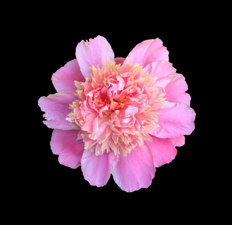 Ρόδινη peony κινηματογράφηση σε πρώτο πλάνο λουλουδιών, τοπ άποψη που απομονώνεται στο μαύρο υπόβαθρο στοκ εικόνα με δικαίωμα ελεύθερης χρήσης
