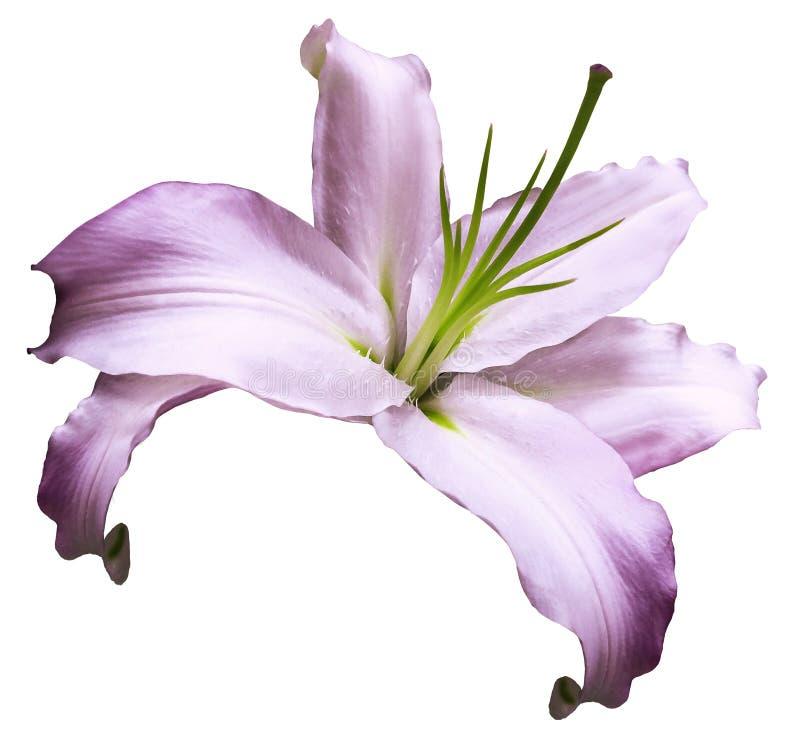 Ρόδινος-άσπρος κρίνος λουλουδιών απομονωμένο στο λευκό υπόβαθρο με το ψαλίδισμα της πορείας καμία σκιά closeup Λουλούδι για το σχ στοκ φωτογραφία με δικαίωμα ελεύθερης χρήσης