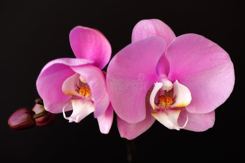 Ρόδινος-άσπρο λουλούδι Orchidaceae ορχιδεών στο μαύρο υπόβαθρο στοκ εικόνες