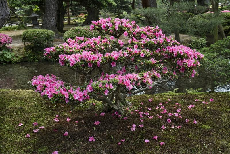 Ρόδινος ανθίζοντας θάμνος αζαλεών στον κήπο Gyokuseninmaru στοκ εικόνα