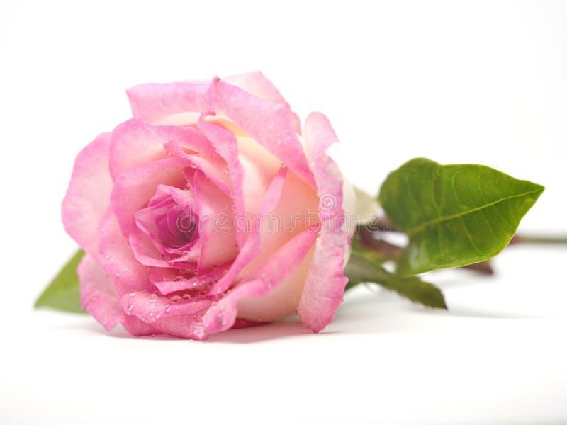 Ρόδινος αυξήθηκε λουλούδι με τα πράσινα φύλλα και το σταγονίδιο σημείου δροσιάς στο άσπρο υπόβαθρο απομόνωσε το υπόβαθρο στοκ φωτογραφίες