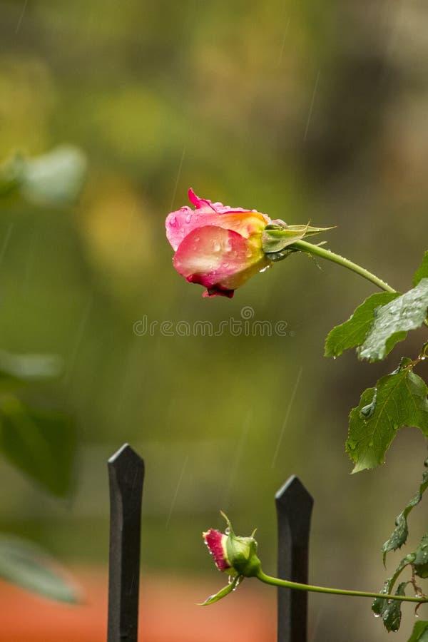 Ρόδινος αυξήθηκε στη βροχή στοκ φωτογραφίες με δικαίωμα ελεύθερης χρήσης