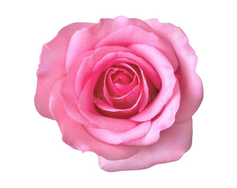 Ρόδινος αυξήθηκε τοπ άποψη λουλουδιών που απομονώθηκε στο άσπρο υπόβαθρο, ψαλιδίζοντας την πορεία στοκ φωτογραφίες με δικαίωμα ελεύθερης χρήσης