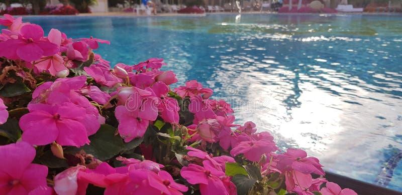 Ρόδινος εξωτικός θάμνος λουλουδιών κοντά στα μπλε νερά στοκ φωτογραφία με δικαίωμα ελεύθερης χρήσης