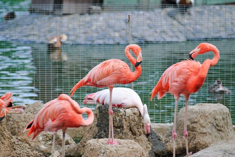 ρόδινος ζωολογικός κήπ&omicron στοκ εικόνες