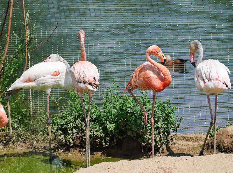 ρόδινος ζωολογικός κήπ&omicron στοκ εικόνα