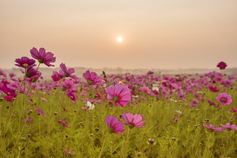 Ρόδινος και κόκκινος τομέας λουλουδιών κόσμου στην ανατολή πρωινού τομέας λουλουδιών κόσμου που ανθίζει στην επαρχία Μαλακή εστία στοκ εικόνες με δικαίωμα ελεύθερης χρήσης