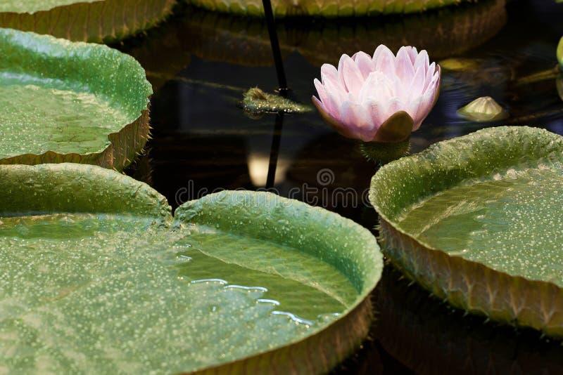 Ρόδινος κρίνος νερού με τα μεγάλα στρογγυλά φύλλα στοκ εικόνες με δικαίωμα ελεύθερης χρήσης