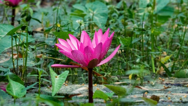 Ρόδινος λουλούδι Lotus ή κρίνος νερού στοκ εικόνα