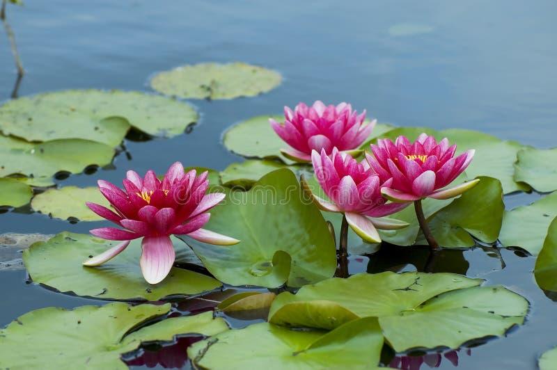 ρόδινος τροπικός waterlily στοκ εικόνα με δικαίωμα ελεύθερης χρήσης