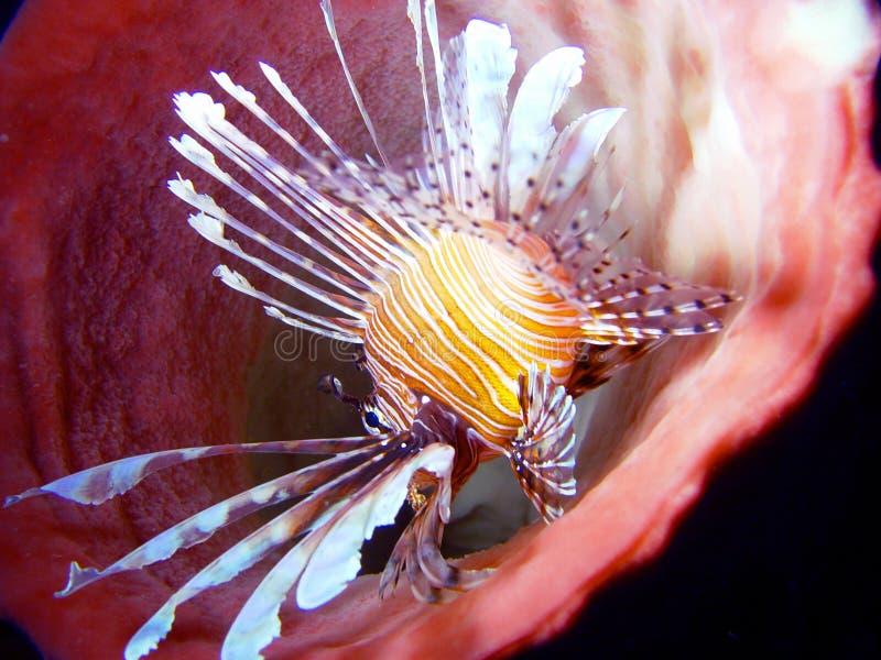 ρόδινος υποβρύχιος κορ&alph στοκ εικόνα