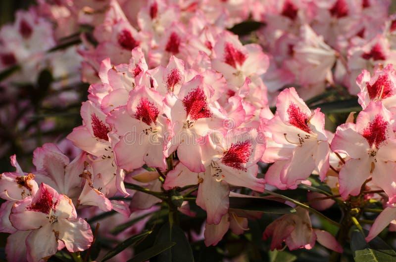 Ρόδινου Rhododendron άνθισης είδη Charmant Hachmann στο βοτανικό κήπο Babites, Λετονία στοκ εικόνες με δικαίωμα ελεύθερης χρήσης
