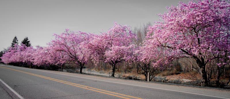 Ρόδινο άνθος άνοιξης σε ένα φωτεινό ηλιόλουστο απόγευμα από την εθνική οδό που επιδεικνύει την τρομερό χρώμα ` s στην πόλη Ουάσιγ στοκ φωτογραφίες