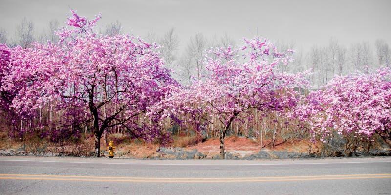 Ρόδινο άνθος άνοιξης σε ένα φωτεινό ηλιόλουστο απόγευμα από την εθνική οδό που επιδεικνύει την τρομερό χρώμα ` s στην πόλη Ουάσιγ στοκ φωτογραφία με δικαίωμα ελεύθερης χρήσης