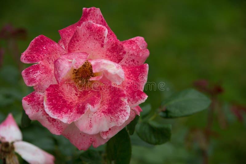 ρόδινο άσπρο ρόδινο λουλούδι που επισημαίνεται σε έναν κήπο σε οριζόντιο στοκ φωτογραφία με δικαίωμα ελεύθερης χρήσης