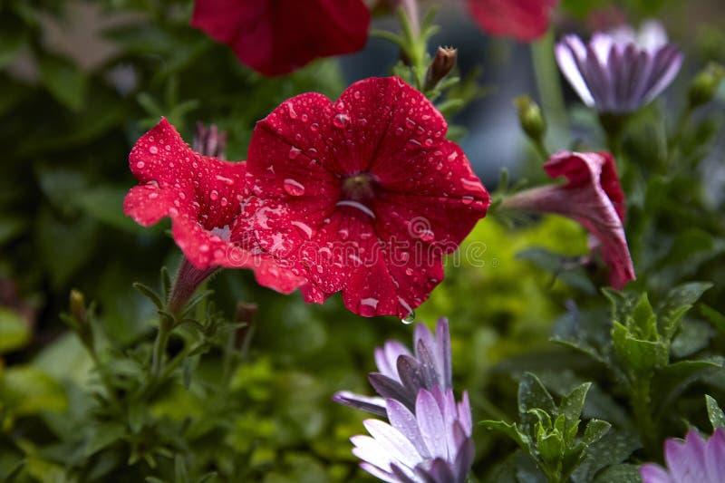 Ρόδινο γεράνι στο μπαλκόνι, με τις σταγόνες βροχής στοκ φωτογραφίες