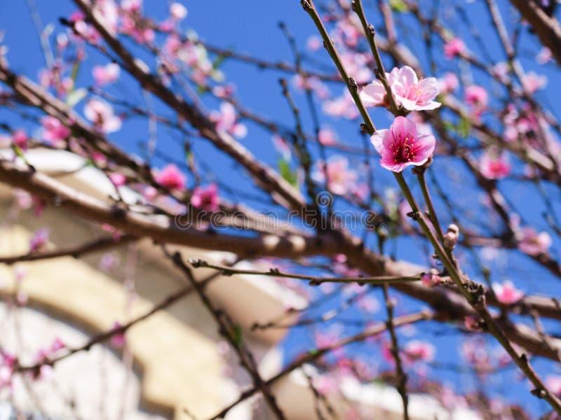 Ρόδινο δέντρο λουλουδιών την άνοιξη στοκ φωτογραφίες με δικαίωμα ελεύθερης χρήσης