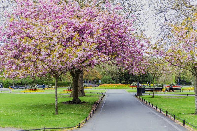 Ρόδινο δέντρο στο πάρκο πόλεων την άνοιξη με την αφθονία των ανθών surroun στοκ φωτογραφίες