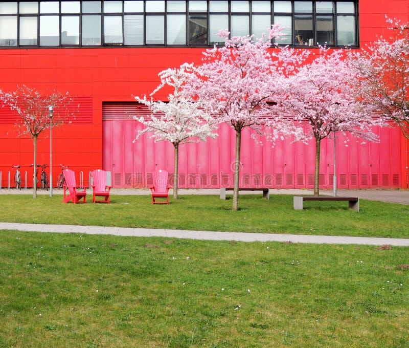 Ρόδινο ιαπωνικό κεράσι, serrulata Prunus, και κόκκινες καρέκλες στοκ φωτογραφία με δικαίωμα ελεύθερης χρήσης