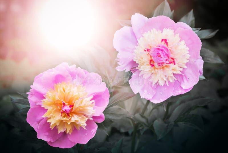 Ρόδινο και κίτρινο χρώμα δύο peony λουλουδιών, στο ελαφρύ και σκοτεινό υπόβαθρο πρωινού στοκ φωτογραφίες