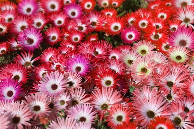 ρόδινο κόκκινο λουλουδιών στοκ εικόνες