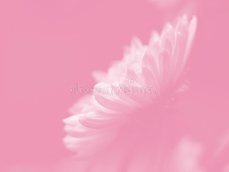 ρόδινο λευκό μαργαριτών στοκ εικόνα