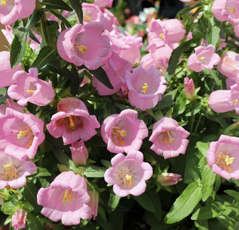 ρόδινο λουλούδια αποκαλούμενων κουδουνιών λουλουδιών ή campanula στοκ φωτογραφία με δικαίωμα ελεύθερης χρήσης