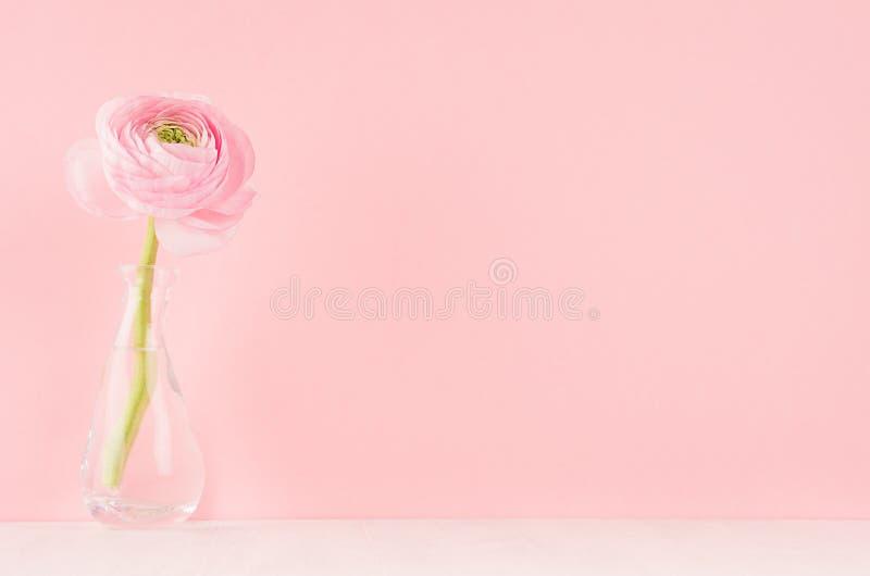 Ρόδινο λουλούδι βατραχίων κρητιδογραφιών Gente στο κομψό βάζο στο μαλακό ελαφρύ λευκό ξύλινο πίνακα και το ρόδινο τοίχο στοκ εικόνες