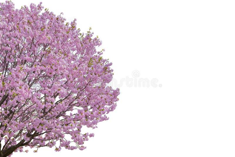 Ρόδινο λουλούδι, δέντρο ανθών κερασιών που απομονώνεται στο άσπρο υπόβαθρο στοκ φωτογραφίες