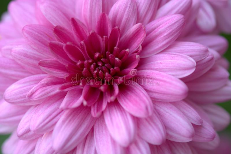 Ρόδινο λουλούδι δόξας στοκ εικόνες