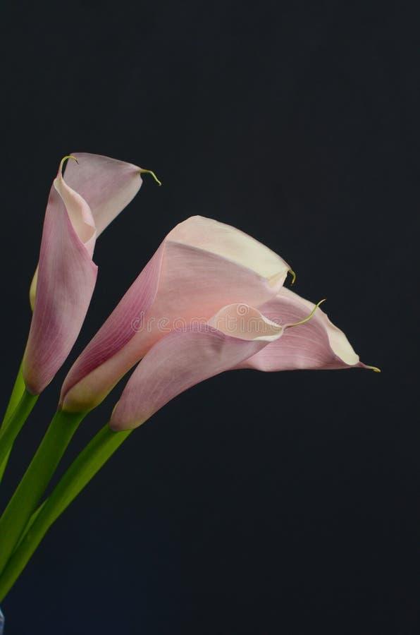 Ρόδινο λουλούδι κρίνων της Calla για το υπόβαθρο στοκ εικόνα