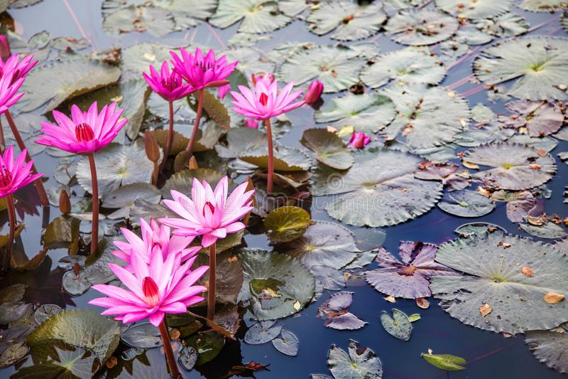 Ρόδινο λουλούδι λωτού στο νερό στοκ φωτογραφία με δικαίωμα ελεύθερης χρήσης