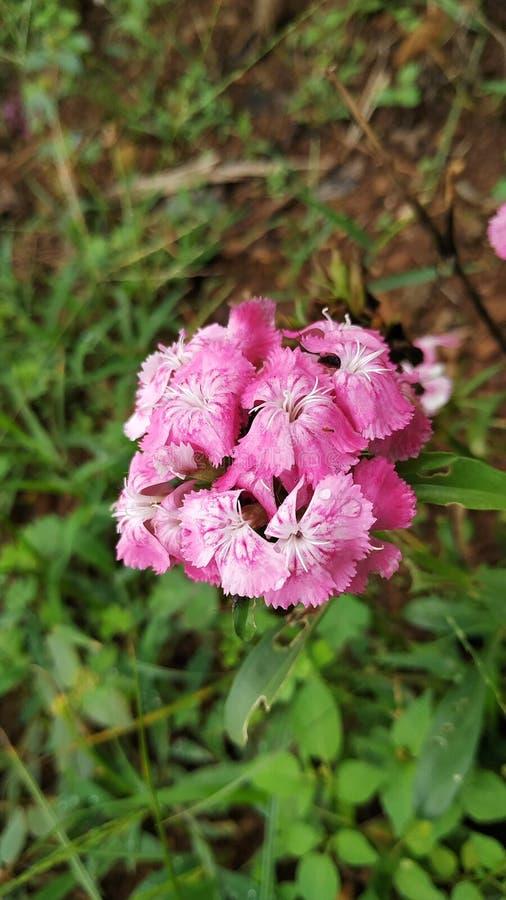 Ρόδινο λουλούδι με την όμορφη μυρωδιά στοκ εικόνα με δικαίωμα ελεύθερης χρήσης