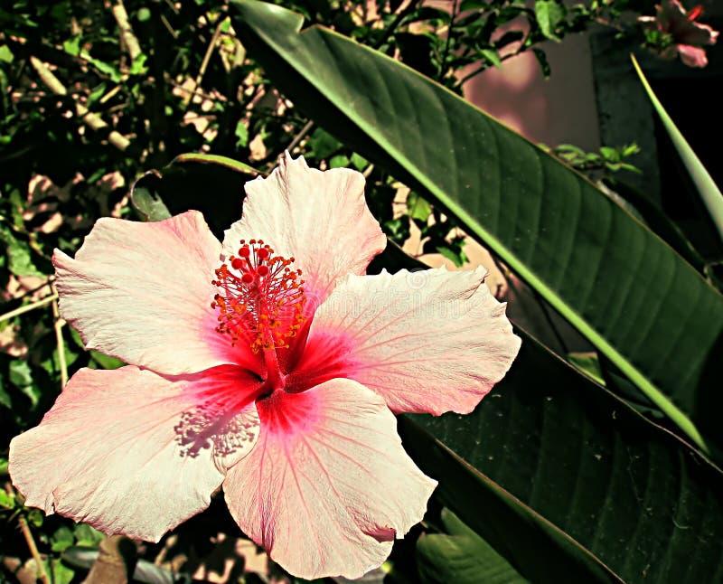 Ρόδινο λουλούδι με το κόκκινο κέντρο στοκ φωτογραφίες