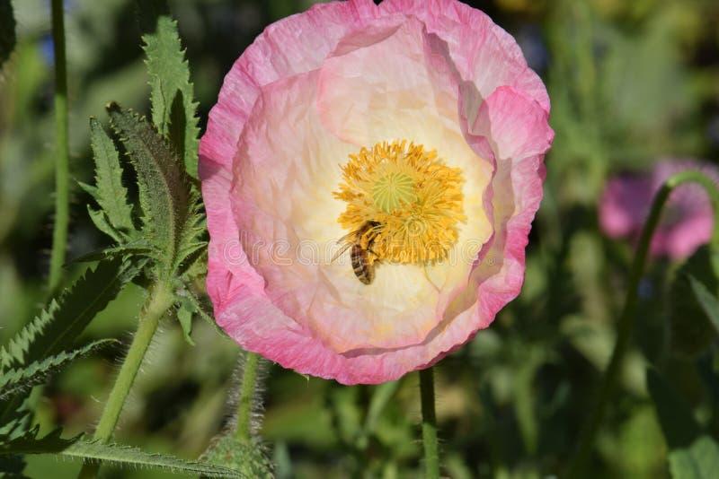 Ρόδινο λουλούδι παπαρουνών της Φλαμανδικής περιοχής με τη μέλισσα 06 στοκ εικόνες με δικαίωμα ελεύθερης χρήσης