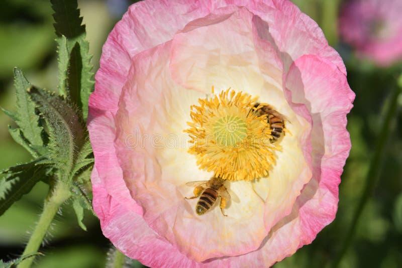 Ρόδινο λουλούδι παπαρουνών της Φλαμανδικής περιοχής με το ζευγάρι των μελισσών στοκ εικόνα με δικαίωμα ελεύθερης χρήσης