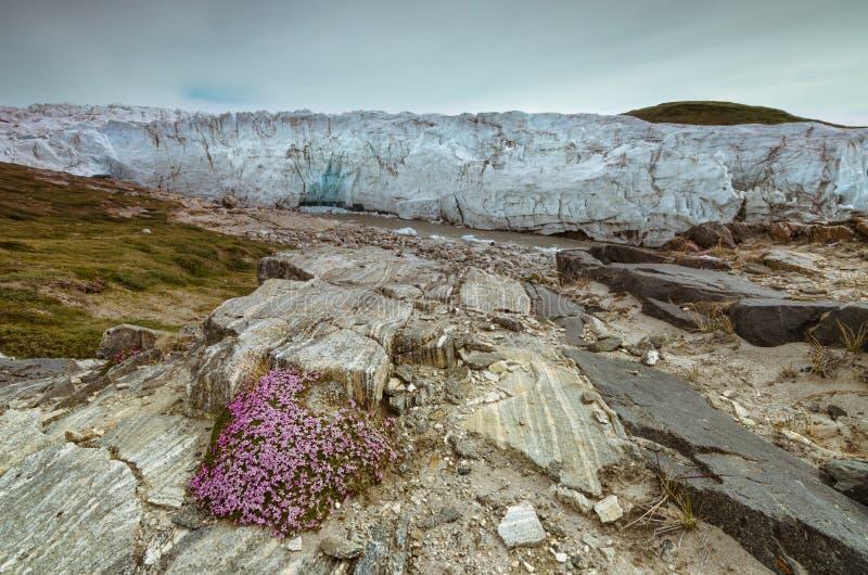 Ρόδινο λουλούδι πιθήκων που ανθίζει δεξιά μπροστά από τον παγετώνα του Russell, Kangerlussuaq, Γροιλανδία στοκ εικόνες με δικαίωμα ελεύθερης χρήσης