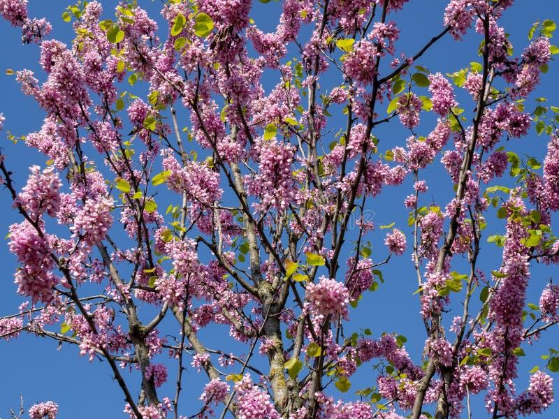 Ρόδινο λουλούδι σε ένα δέντρο με το μπλε ουρανό στοκ εικόνα