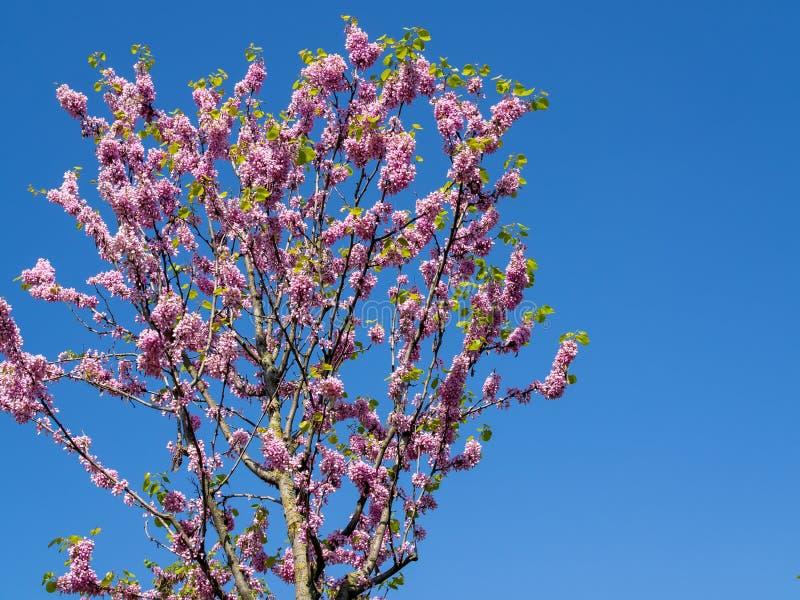 Ρόδινο λουλούδι σε ένα δέντρο με το μπλε ουρανό στοκ εικόνες
