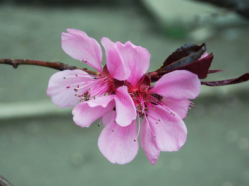 Ρόδινο λουλούδι σε ένα δέντρο με burgundy τα φύλλα στοκ φωτογραφίες